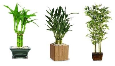 Bambus rostlina